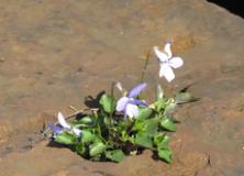 2016-04-04 Fiore tra le pietre per sito LCI