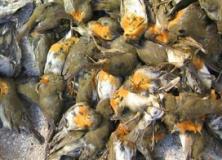 2016-11-30-uccelli-ammazzati